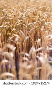 Close up shot of ripe ears of  cereal plants in a field