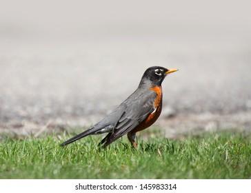 Close up shot of Robin bird in the grass
