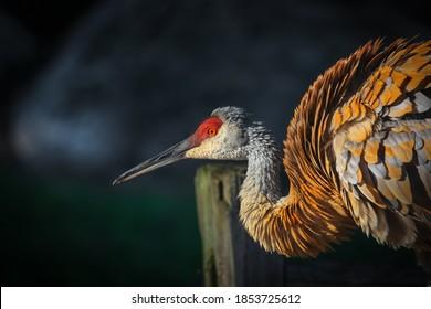 Close up shot of Sandhill crane bird