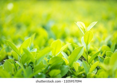 Close up shot with selective focus green leaf in plantation