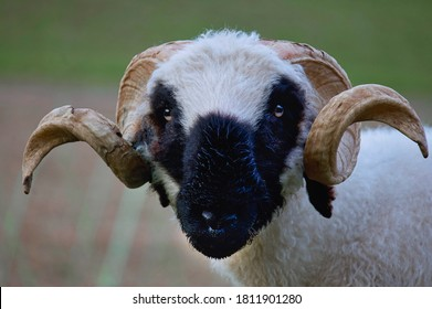 Close up shot of sheep with it's curved horn.