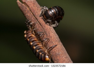 Close up shot of a Shiny Black and red millipede found in Australia curled up on a stick. Diplopoda black millipede with red/orange highlight wrapped on stick