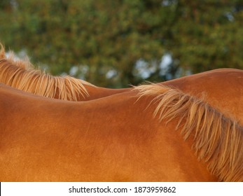 A close up shot showing the back and withers of two Suffolk Punch horses standing side by side.