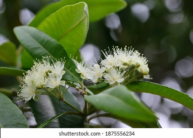 A close up shot of some beautiful white flowers of lemon myrtle tree in natural light, Queensland, Australia.