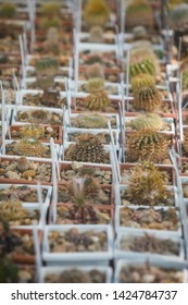Close up shot of some cactuses in a greenhouse.