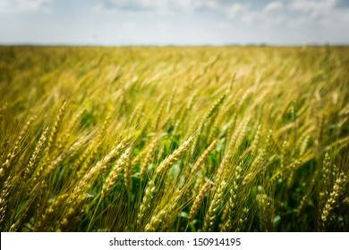 Close up shot of some wheat blowing in the wind in clarksdale mississippi
