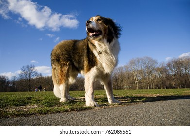 Close up shot of St Bernard/shepherd, under sunlight in a park. Blue sky and trees in the background.