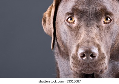 Close Up Shot of a Stunning Chocolate Labrador against Grey Copyspace Background