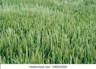 A close shot of a sweetgrass field with a blurred background