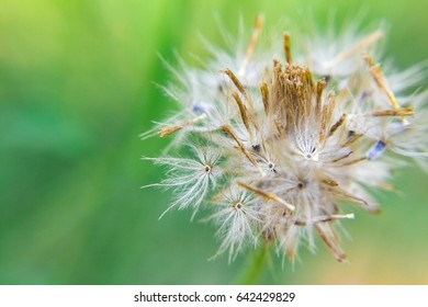 Close up shot of the taraxacum