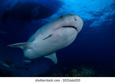 Close up Shot of Tiger Shark Swimming Gracefully in Clear Waters of Bahamas