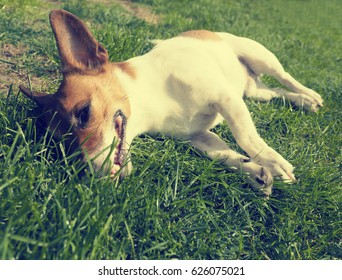 Close up shot of a tired Jack Russell Terrier in a garden