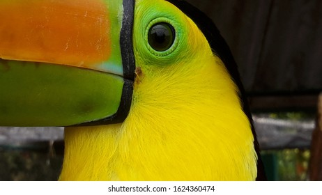 close up shot of toucan bird eye, eye close up