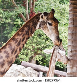 Close up shot of two giraffes, mother and child  in nature.