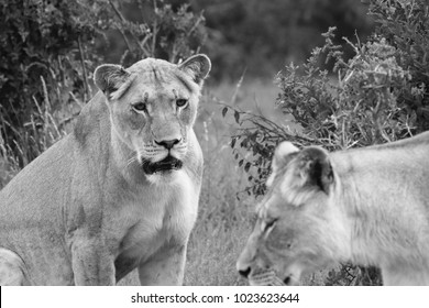 A close up shot of two lionesses in the wild. This is a black and white image.