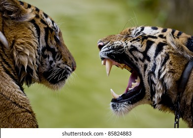 Close up shot of two tigers communicating. Roaring tiger with bare teeth. Thailand