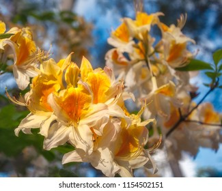 Close up shot of unusual yellow Rhododendron flowers -called Roseum Elegans in Latin - on a blurred background at Rhododendron Garden in Blackheath, New South Wales, Australia.