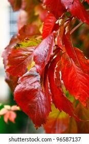 close up shot of Virginia Creeper Parthenocissus quinquefolia leaves turning bright red in the autumn