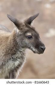 A close up shot of a wallaby.