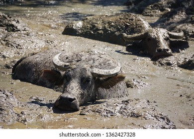 Close up shot of water buffalo.