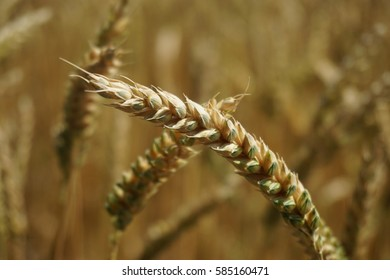 Close up shot of wheat in a field.