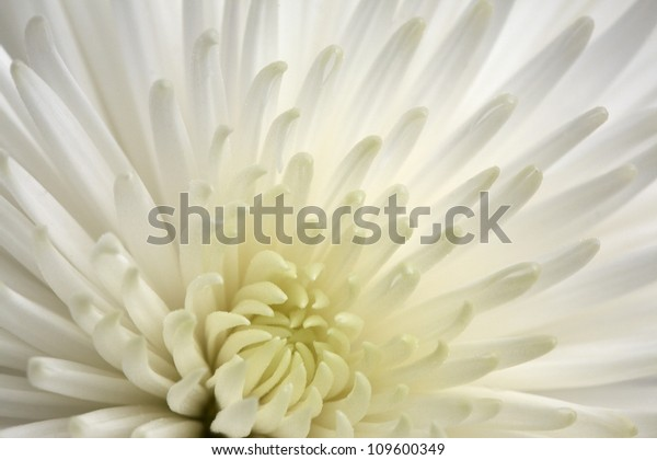 Close up shot of a white Chrysanthemum