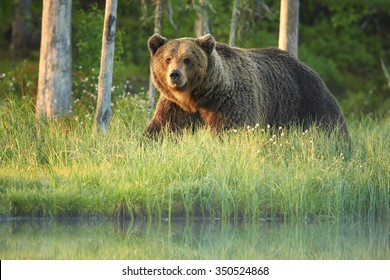 A close up shot of a wild big male brown bear on the bank of small lagoon in green grass  stared directly at the camera. Deep green european forest in background, early morning colorful light .