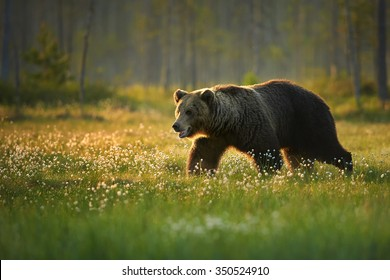 A close up shot of a wild big male brown bear in the flowering grass in movement. Blurry arctic european forest in background, lit by early morning colorful light .