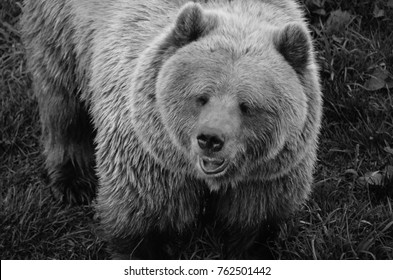 A close up shot of wild brown bear