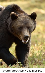 A close up shot of a wild male brown bear in colorful forest scenery, approaching to the camera