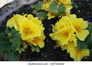 close up shot of yellow Primroses blooming with the arrival of Spring planted in a garden pot