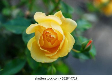 A close up shot of a yellow rose with green leaves