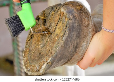 Close up shot of young horsewoman hand holding hoof pick as she cleans out the hoof of her horse ready to ride. Rural farm animals concept. Czech Warmblood/Arab.