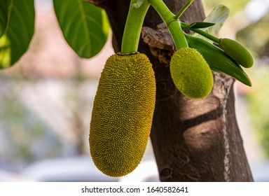 close up shot of young jackfruits on a jack tree.  Jack tree bears the largest fruit of all trees