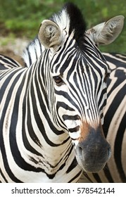close up shot of zebra