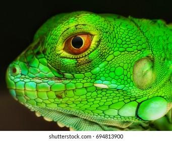 Close up shots, Beautiful nature scene iguana. (Iguana Iguana) Showing of eyes and face detail. Iguana in the nature habitat using as a background or wallpaper.