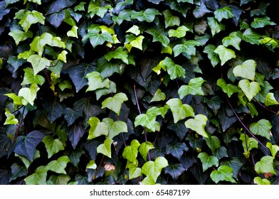 Close up shots of a common ivy