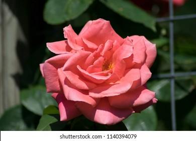 close up shots of pink roses