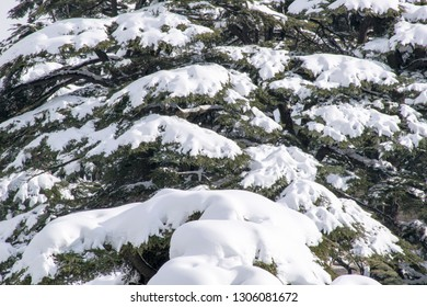 close up shots of snow packed on Lebanese Cedars