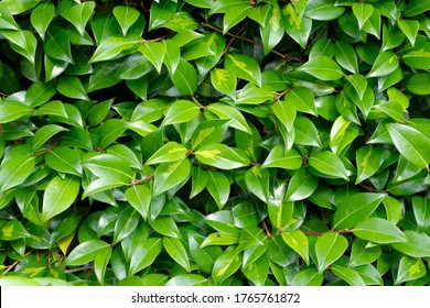 Close up showing leaves on a hedge. Wales UK