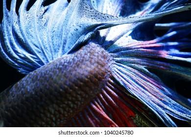 close up of Siam betta fighting fish,Betta splenden( Pla-kad),colorful half moon Betta fish isolated on black background.