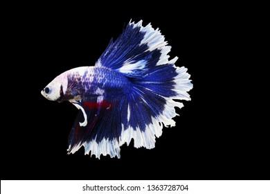 close up of Siam betta fighting fish,Betta splenden( Pla-kad),colorful Betta fish isolated on black background.