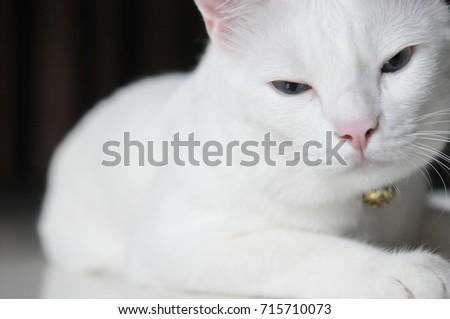 Close Siamese Cat White Cat Beautiful Stock Photo Edit Now