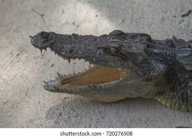 Close up of Siamese Crocodile (Crocodylus siamensis) in Thailand