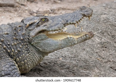 Close up of Siamese Crocodile open mount and eye open
