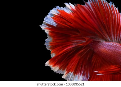Close up of Siamese Fighting Fish or Betta Fish tail on a black background.