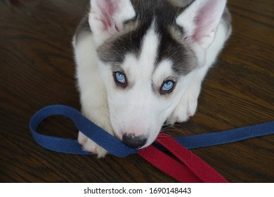 Close up of a Siberian Husky with Ice Blue Eyes Holding a Blue and Red Leash