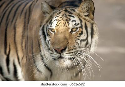 Close up of a Siberian Tiger