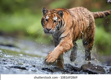 Close up Siberian tiger, Panthera tigris altaica, low angle photo in direct view, tiger walking in the water of forest stream directly at camera with water splashing around.Tiger in taiga environment.
