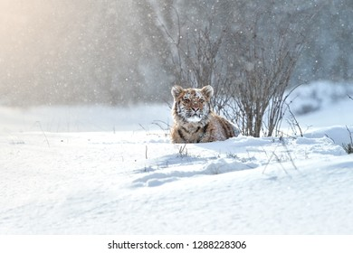 Close up Siberian tiger, Panthera tigris altaica, young male in snowy, freezing cold, lying in deep snow against winter forest. Tiger in its natural taiga environment, winter. Big cat in snow blizzard